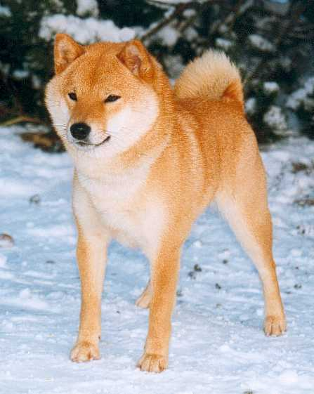 National Shiba Club Of America